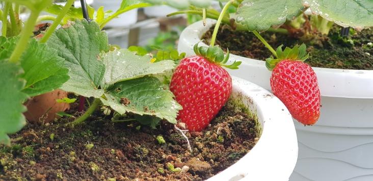 180719n 11 Strawberry Taman Sedia_resize